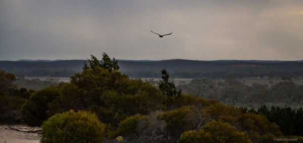 An eagle flies by as the sun set and storm approaches from atop Snow Drift sand dune,  Wyperfeld np