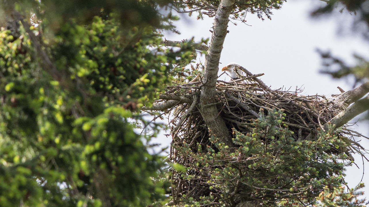 Eagle's nest at American Camp, San Juan Island