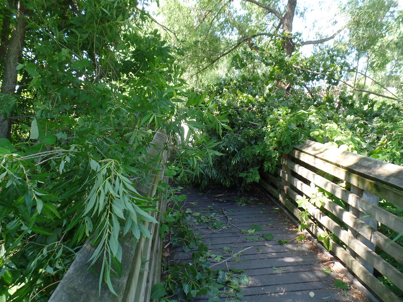 Tree over Earley Lake park path - on foot bridge