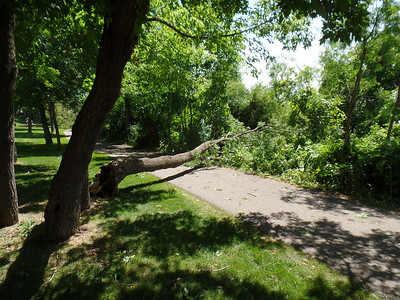 Tree over Earley Lake park path - from Summit Shores Drive townhomes