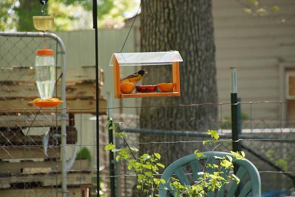 2016 Backyard Birding