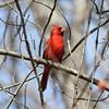 Northern Cardinal [Male]