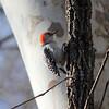 Red-bellied Woodpecker @ Rockwoods Reservation