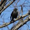 Rusty Blackbird @ Shaw Nature Reserve