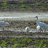 Whooping Cranes [Immature] @ Kaskaskia Island
