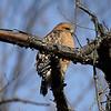 Red-shouldered Hawk @ Shaw Nature Reserve