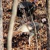 Wild Turkeys @ Rockwoods Reservation