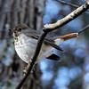 Hermit Thrush @ Shaw Nature Reserve