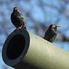 European Starlings @ Missouri Veteran's Home