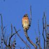 Red-shouldered Hawk @ August Busch CA