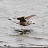 Herring Gull [Immature]
