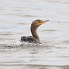 Double-crested Cormorant @ Eagle Bluffs Conservation Area