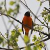Baltimore Oriole [Male] @ Horseshoe Lake SP