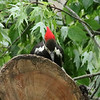Pileated Woodpecker [Female] @ Castlewood SP
