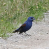 Blue Grosbeak (Male) @ Riverlands MBS