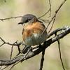 Eastern Bluebird [Female]