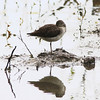 Solitary Sandpiper @ Clarence Cannon NWR