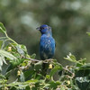 Indigo Bunting (Male) @ Riverlands MBS