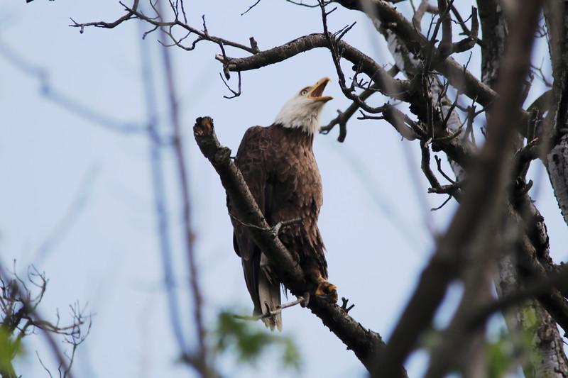 Bald Eagle (Above Nest)
