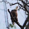 Bald Eagle (Above Nest)