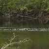 American Coots [Raft of] @ Horseshoe Lake SP