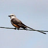 Scissor-tailed Flycatcher @ Darst Bottom Road