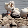 Brown Pelican with American White Pelicans