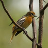 Baltimore Oriole @ Clarence Cannon NWR