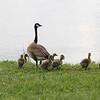 Canada Goose with Goslings @ Horseshoe Lake SP