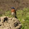 Eastern Bluebird [Male]