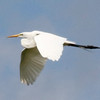 Great Egret @ Riverlands MBS