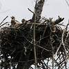 Immature Bald Eagles (Eaglets in Nest)