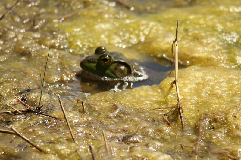 Green Frog [Rana clamitans]