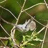 Blue-gray Gnatcatcher @ Clarence Cannon NWR