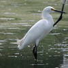 Snowy Egret @ Confluence Point SP [Confluence Road]