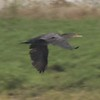 Double-crested Cormorant @ Riverlands MBS