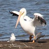 Ameican White Pelican with Ring-billed Gull, Black Tern and Forster's Tern @ Riverlands MBS
