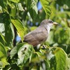 Yellow-billed Cuckoo @ Lewis and Clark Trail