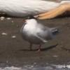 Common Tern @ Riverlands MBS