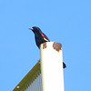Red-winged Blackbird @ Chesterfield Presbyterian Church