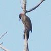 'Yellow shafted' Northern Flicker @  @ Castlewood SP