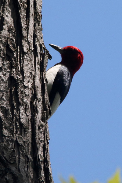 Red-headed Woodpecker @ Clarence Cannon NWR