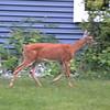 White-tailed Deer @ Grand Glen Drive