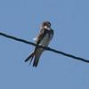 Bank Swallow @ Kaskaskia Island