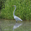 Great Egret @  @ Clarence Cannon NWR