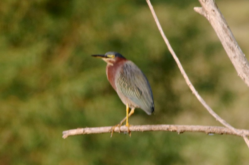 Green Heron @ Bellefontaine CA