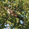 Yellow-billed Cuckoo @ Lost Valley Trail