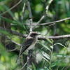 Eastern Wood Pewee (Juvenile) @ Clarence Cannon NWR