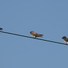 Bank Swallow between two Cliff Swallows @ Kaskaskia Island