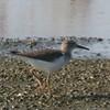 Spotted Sandpiper @ Kaskaskia Island